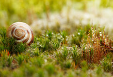 Snail on moss Royalty Free Stock Image