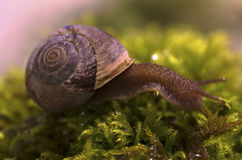Snail and Moss. A small snail moves through the undergrowth in a large rainforest,  Vancouver, BC, Canada Royalty Free Stock Photo