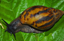 SNAIL IN MOTION Stock Photography
