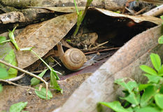 Snail movement on the bark of a tree Stock Image