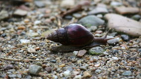 Snail moving along ground Stock Photography