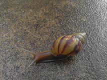 Snail moving Royalty Free Stock Image