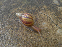 Snail moving Royalty Free Stock Photo