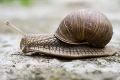 Snail moving on the ground Royalty Free Stock Image
