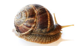 Snail Moving stock video