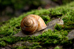 Snail. Moving snail on moss. In the forest Royalty Free Stock Photography