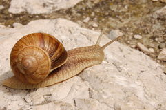 Snail moving on a rock. A snail advancing on a bare rock Royalty Free Stock Images