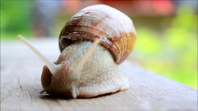 Snail moving in slow motion. Snail emerging from shell and moving across wooden board in slow motion stock video
