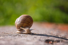 Snail moving slowly on the rock. In the green grass Royalty Free Stock Image
