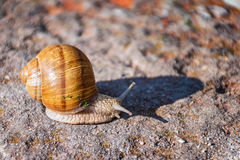 Snail moving slowly on the rock. In the green grass Royalty Free Stock Photo