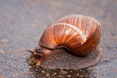 Snail moving on wet surface Royalty Free Stock Photos