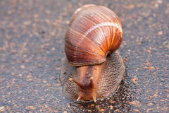 Snail moving on wet surface Stock Image