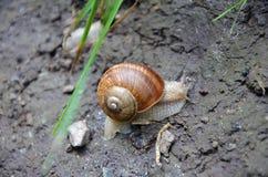Snail on mud ground Stock Image