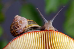 Snail and Mushroom Royalty Free Stock Photo