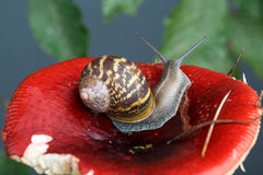 Snail and Mushroom Royalty Free Stock Photography
