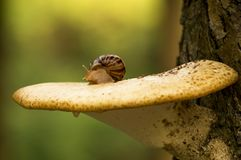 Snail mushroom Stock Photography