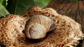 Snail On A Mushroom stock video