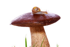 A snail on  mushroom. Royalty Free Stock Photography