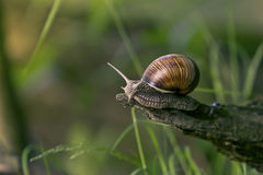 Snail in the natural environment Stock Image