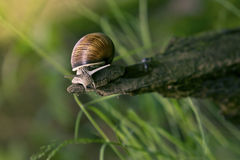 Snail in the natural environment Royalty Free Stock Image