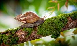 Snail in natural habitat Royalty Free Stock Image