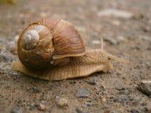Snail Royalty Free Stock Photo