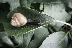 Snail in the nature Stock Images