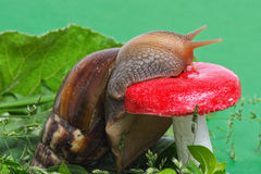 Snail near mushroom. In nature Stock Photos