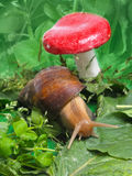 Snail near mushroom. In nature Stock Photography