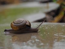Snail in the near term Royalty Free Stock Images