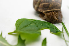 Snail och leaf Arkivbild