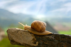 Snail on the old stone. Inquiring snail waiting for sunrise stock image
