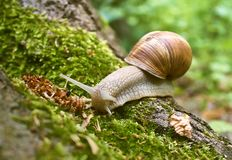 Snail in moss Royalty Free Stock Photo