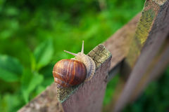 Snail on old Wooden Fence and the green grass. Royalty Free Stock Image