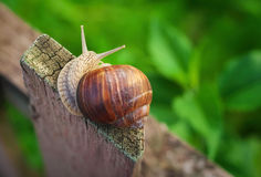 Snail on old Wooden Fence and the green grass. Royalty Free Stock Photo