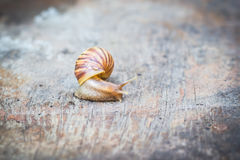 Snail on old wooden table. Snail on old wooden table at the garden Stock Photography