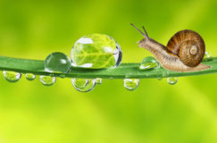 Snail On Dewy Grass Stock Image