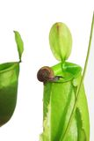 Snail On Pitcher Plant Royalty Free Stock Images