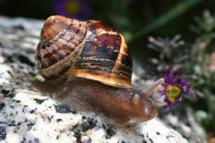 Snail On Rock Stock Photos