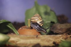 Snail with one foot on a carrot Stock Photos