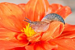 Snail on an orange flower. Water drops on petals, the yellow middle of a flower. Close up, selective focus Stock Images