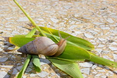 Snail. Out of its shell for food Royalty Free Stock Images