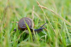 Snail outdoor. Royalty Free Stock Photography