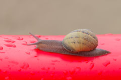 Snail outside house after the rain on red plastic surface Stock Photo