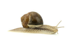 Snail  over white background Stock Photography