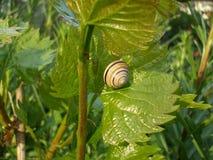 Snail på en leaf Arkivfoton