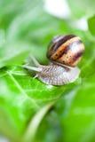 Snail på en leaf Arkivfoto