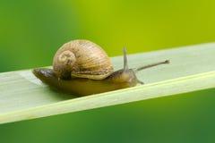 Snail på en leaf royaltyfria foton