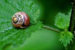 Snail på en leaf Royaltyfria Bilder