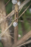 Snail på en stjälk av gräs Royaltyfri Foto